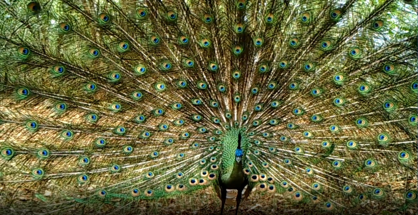 Endangered green peacock expected to be restored in Southwest China