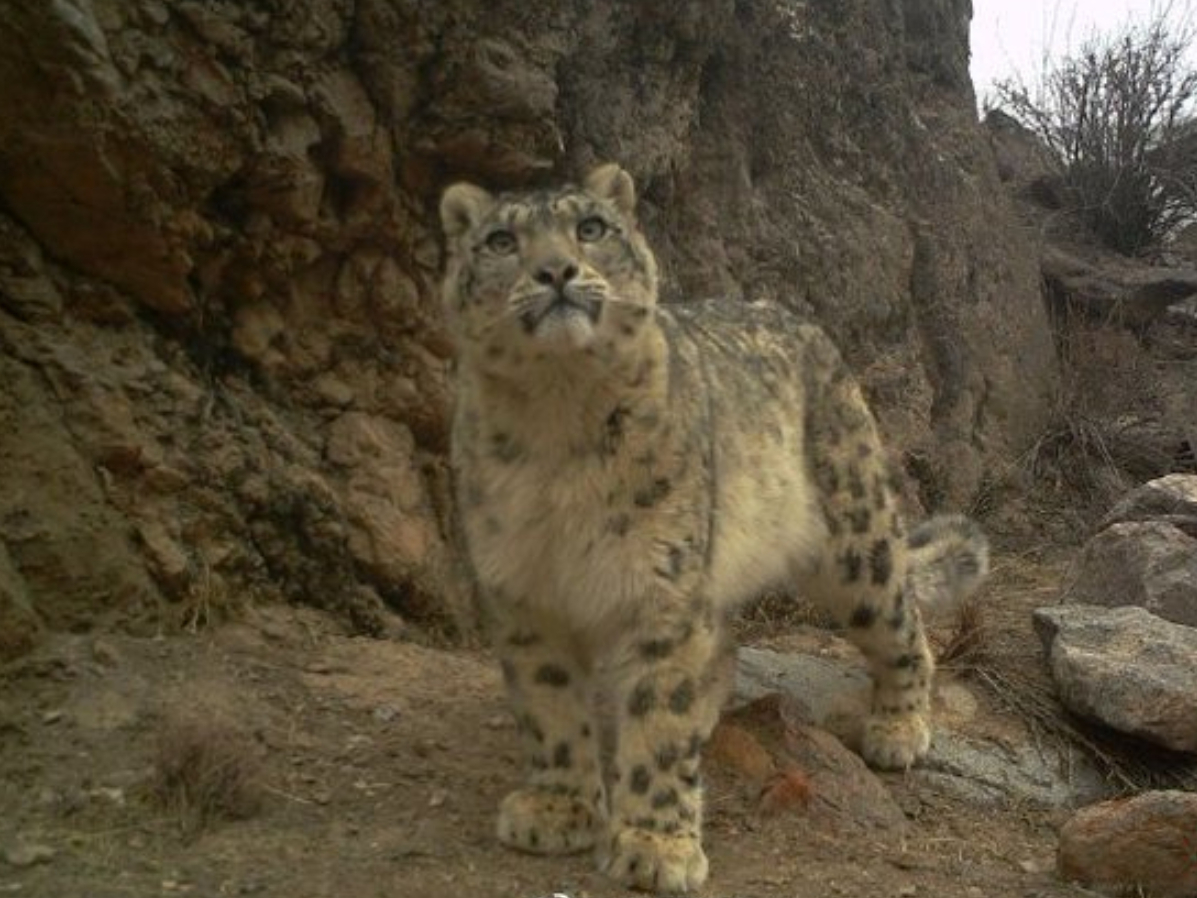 Chinese researchers conduct satellite tracking of wild snow leopards