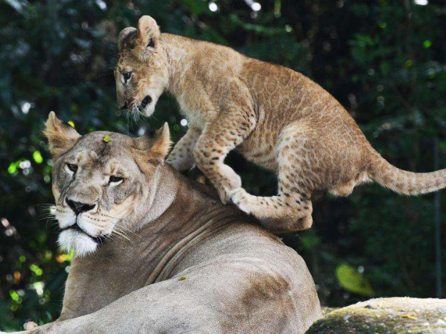 People watch lion cub Simba at Singapore Zoo