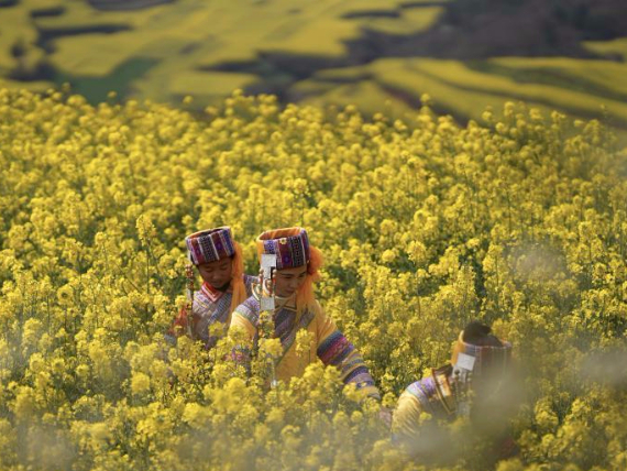 Blooming canola flower attracts tourists in Yunnan