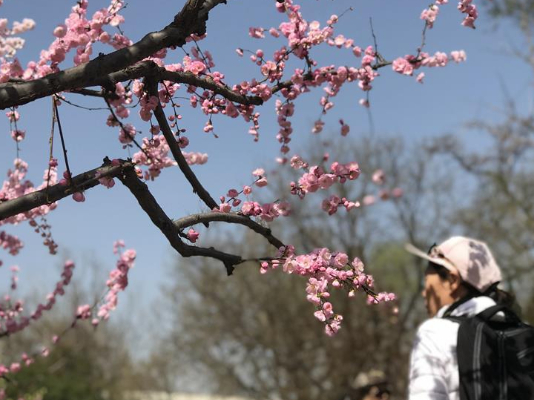 Beijing maps out 12 routes to best enjoy spring blossoms