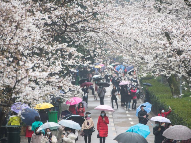 View of cherry blossoms in Wuhan