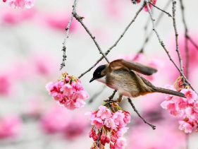In pics: blossoming cherry trees in Guiyang