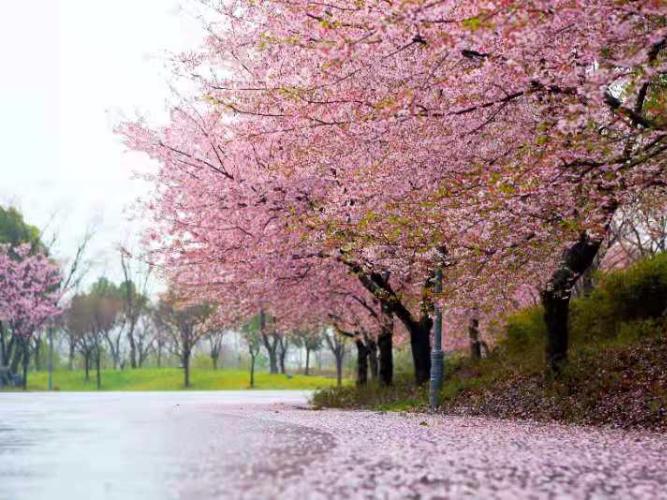 Cherry blossom spectacle at Shanghai Gucun Park