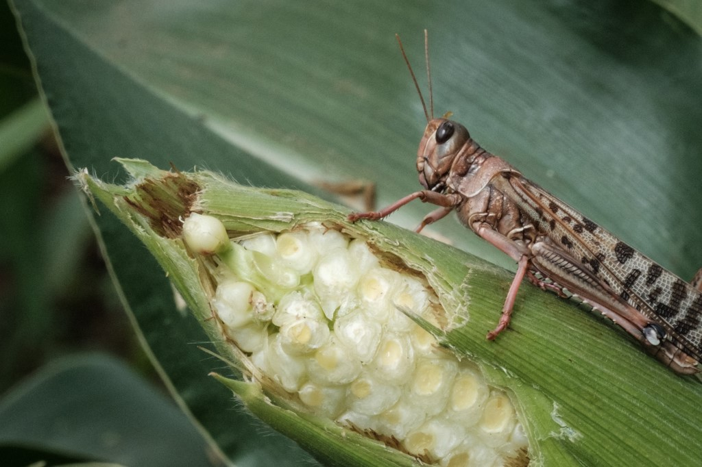 Experts warn of future locust invasion, calling for climate change mitigation