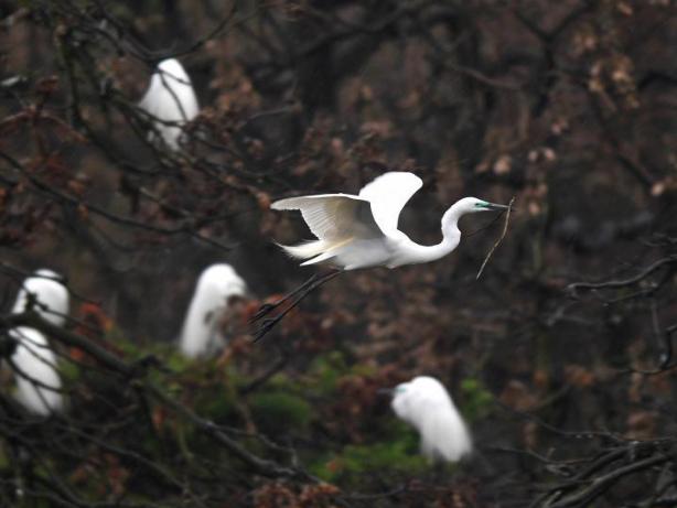 Egrets seen at Xiangshan Forest Park in Nanchang, E China