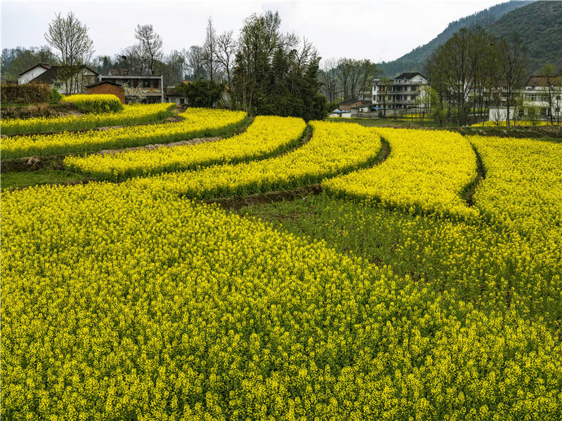 Rapeseed flowers in full bloom in Southwest China