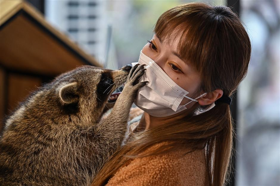 From raccoons to snakes: Shanghai animal cafes expand to exotics