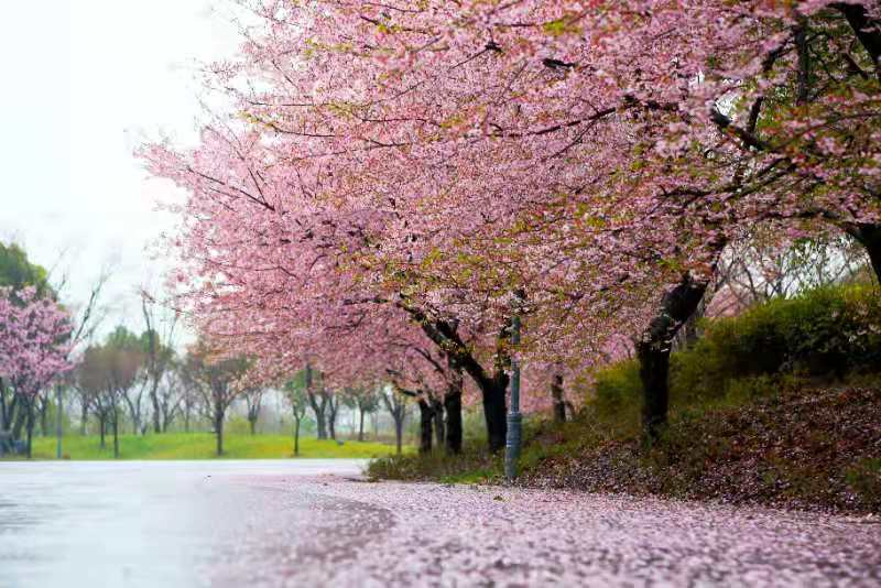Wuhan invites nationwide medics to enjoy cherry blossom season