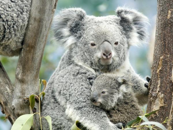 Nanjing koala enjoys spring nap