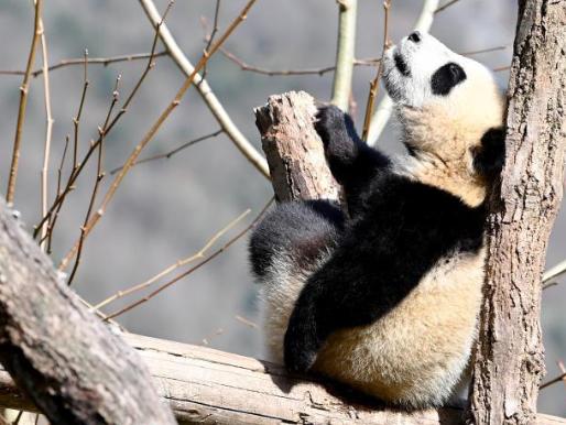 Giant panda cubs enjoy spring day