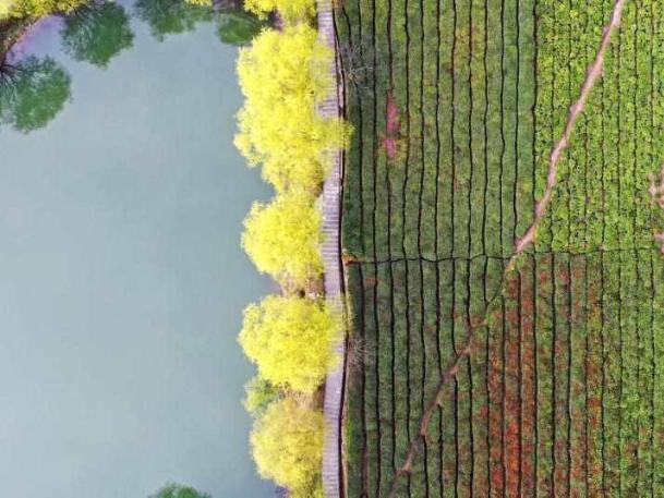 Tea enters harvest season in China