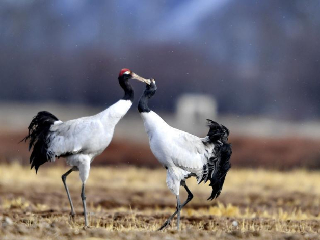 National nature reserve for black-necked cranes in China's Tibet