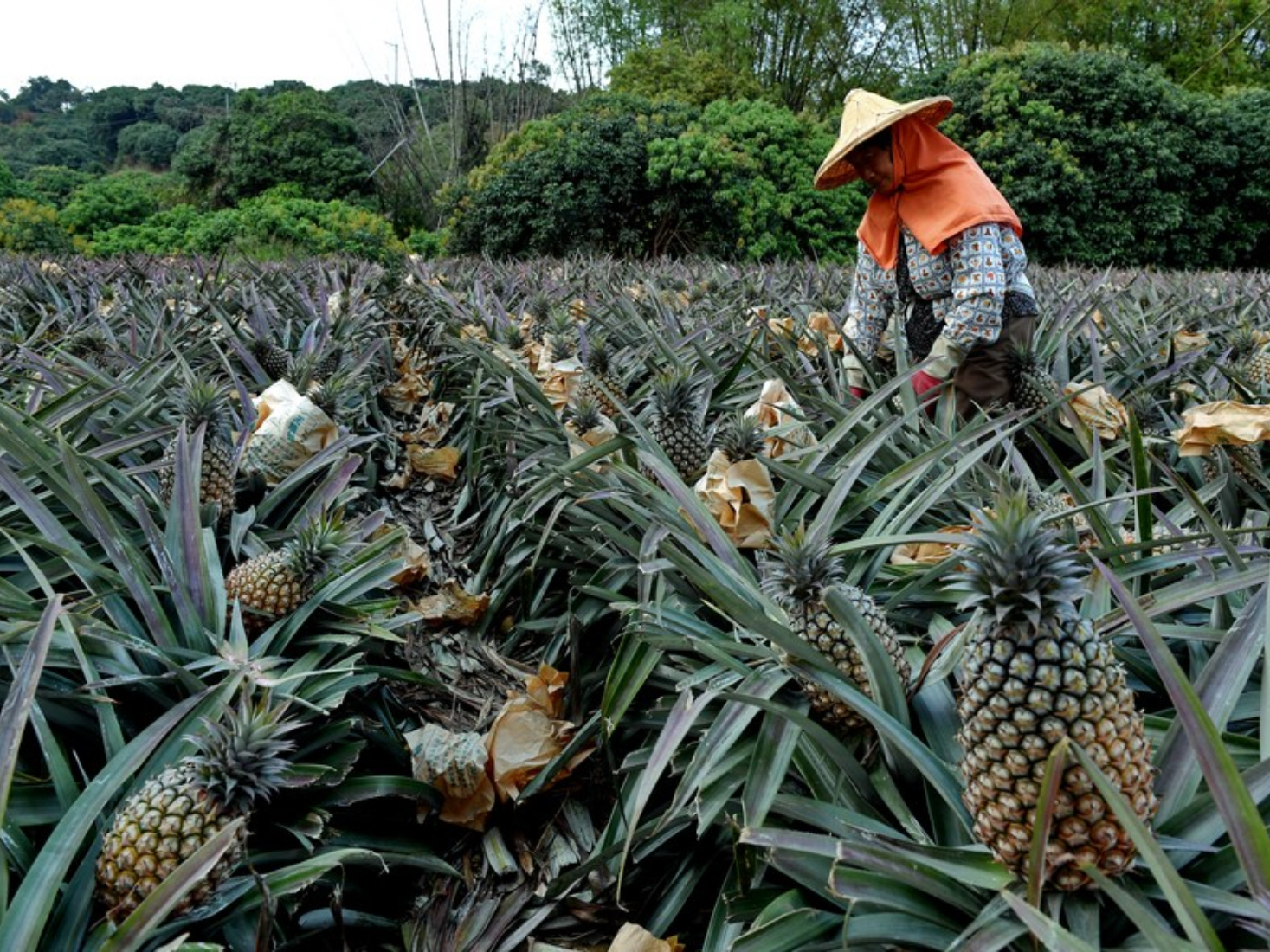 No feedback from Taiwan on substandard pineapple: mainland spokesperson