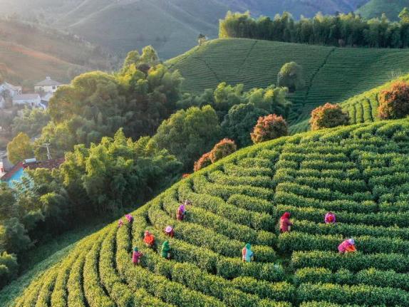 Spring tea picking in full swing in E China