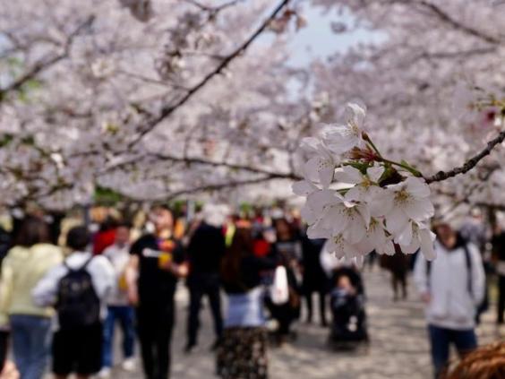 Cherry blossoms in E China's Wuxi attract visitors