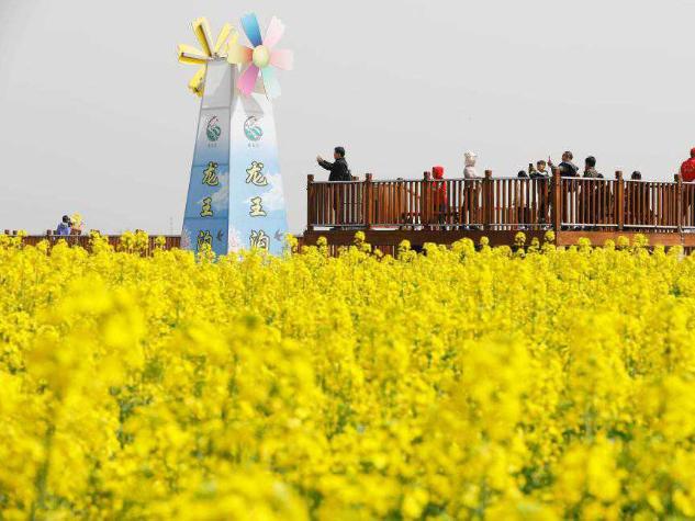 People enjoy view of cole flowers in Henan