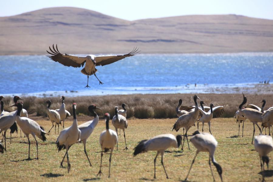 Protected black-necked crane population growing