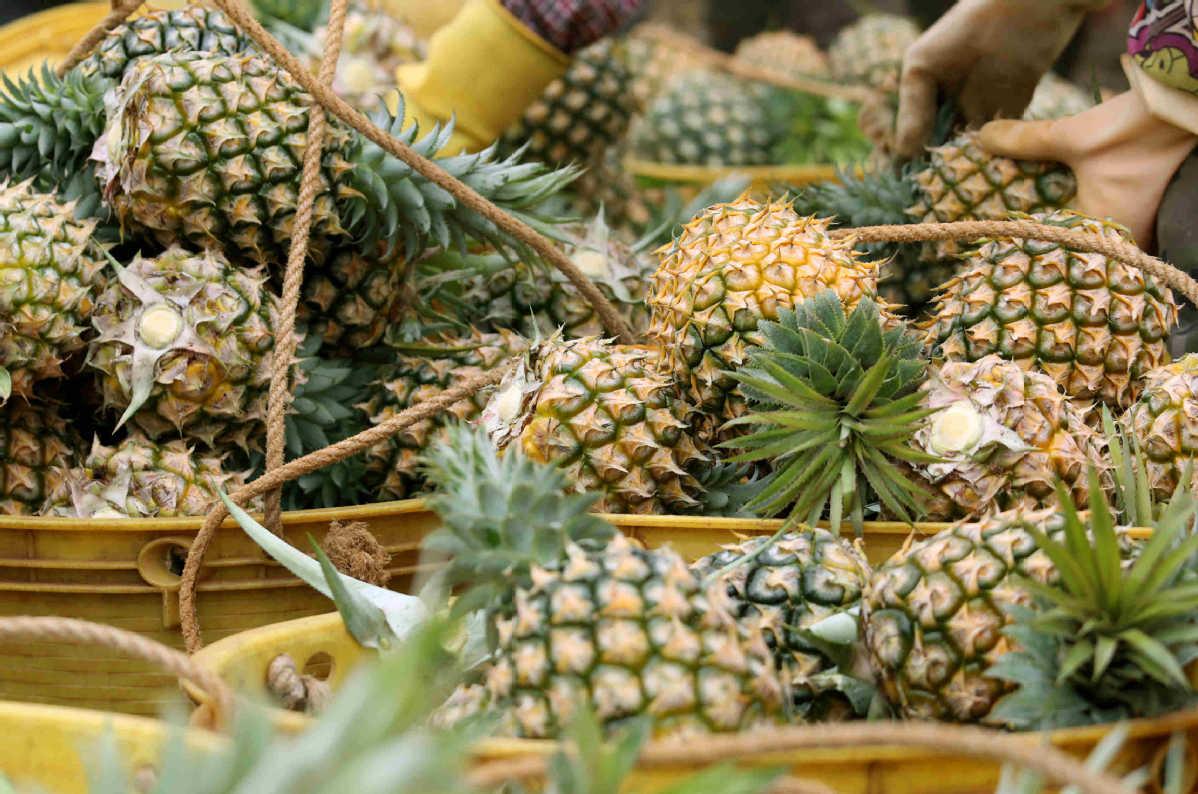 Sea of pineapples enters harvest season