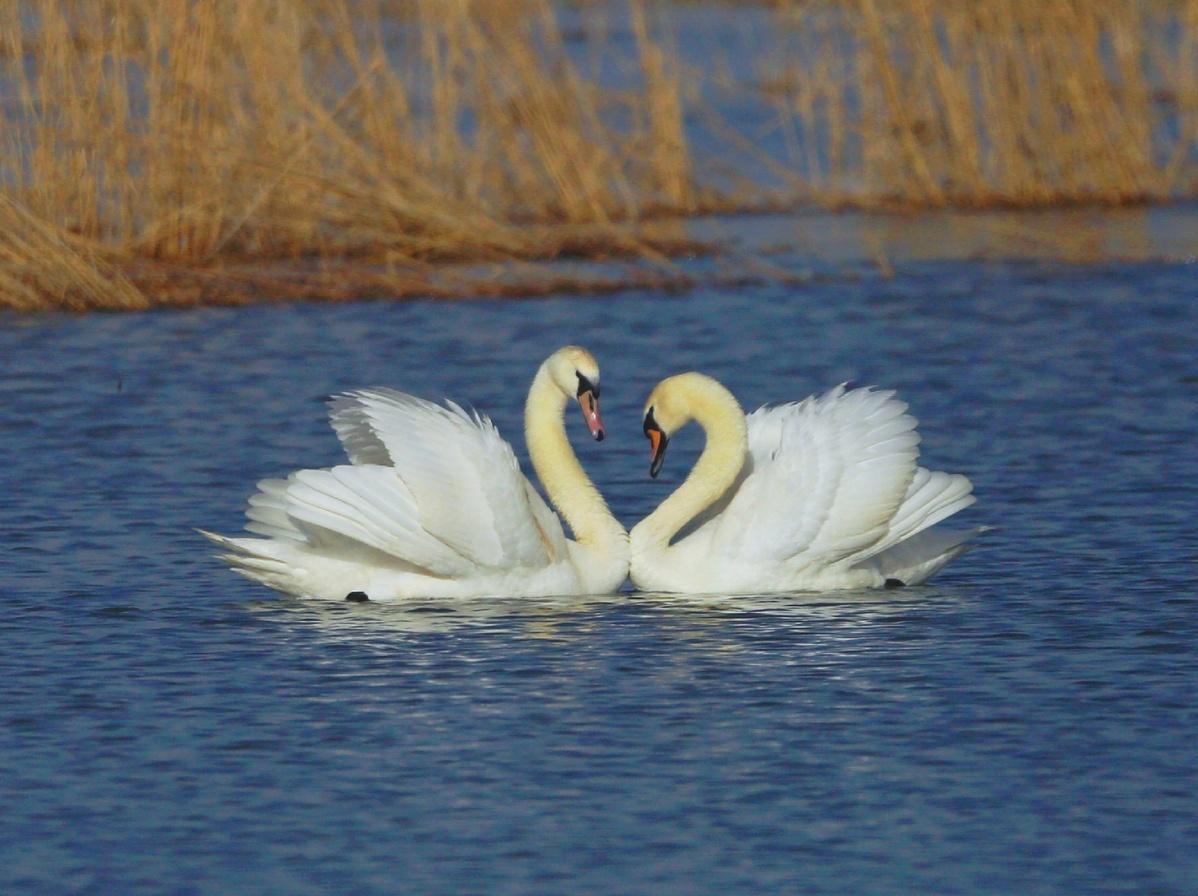 Inner Mongolia welcomes mute swans