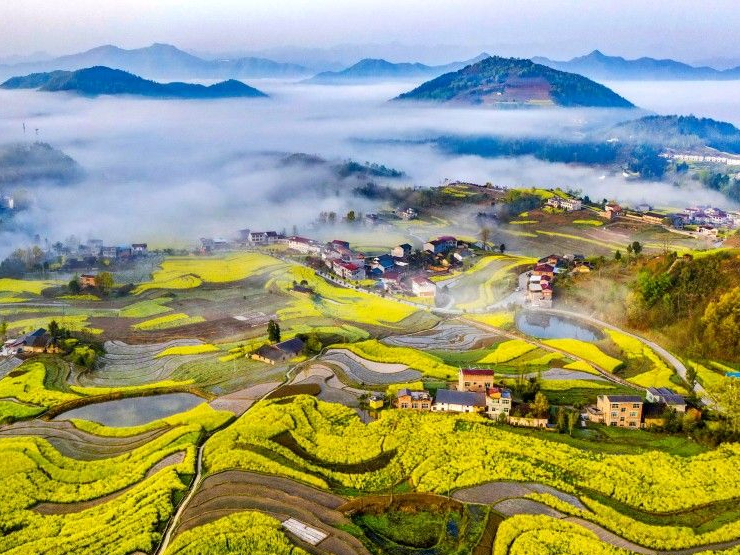 Rapeseed blossoms in golden terraces of North China