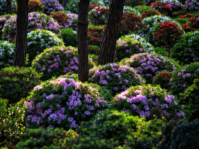 Azaleas in SW China's Chongqing attract visitors