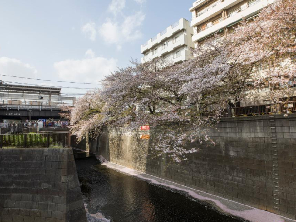 Cherry blossoms in full bloom in Tokyo, Japan