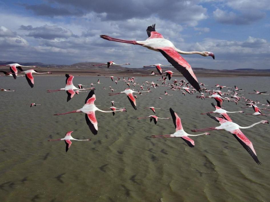 Flamingos fly over Mogan Lake in Ankara, Turkey