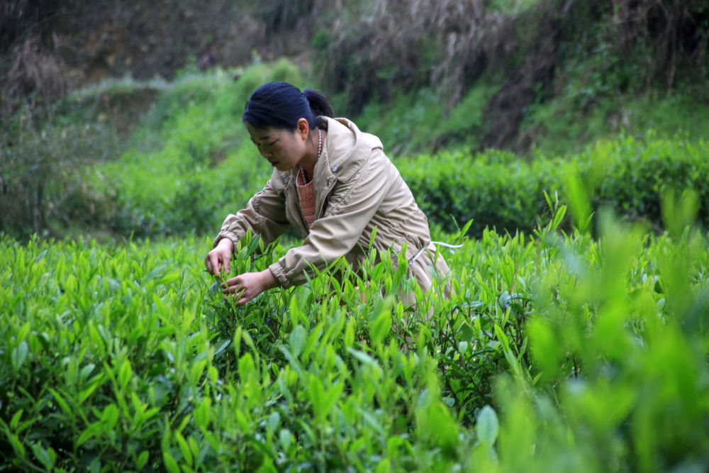 Tea picking in full swing on China's Tomb-Sweeping Day
