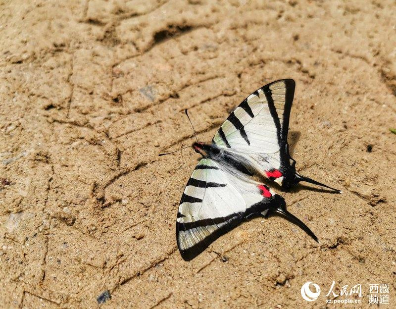 Tibet becomes home to 569 species of butterflies