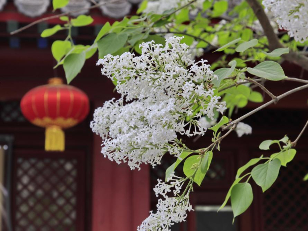 Blooming flowers at temples in Beijing