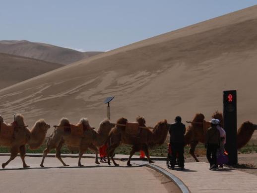 Traffic light for camels debuts in Gansu