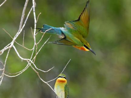 Blue-tailed bee-eaters seen in Xiamen, Fujian