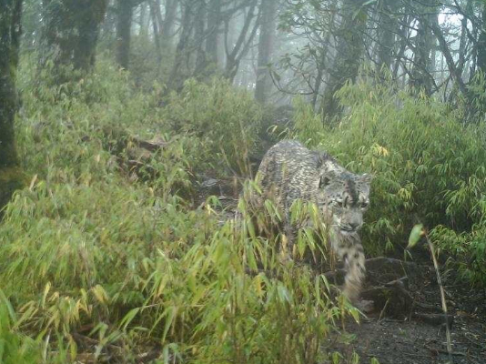 New snow leopards sighted in Giant Panda National Park