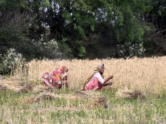 Farmers harvest wheat on outskirts of northwest Pakistan's Peshawar