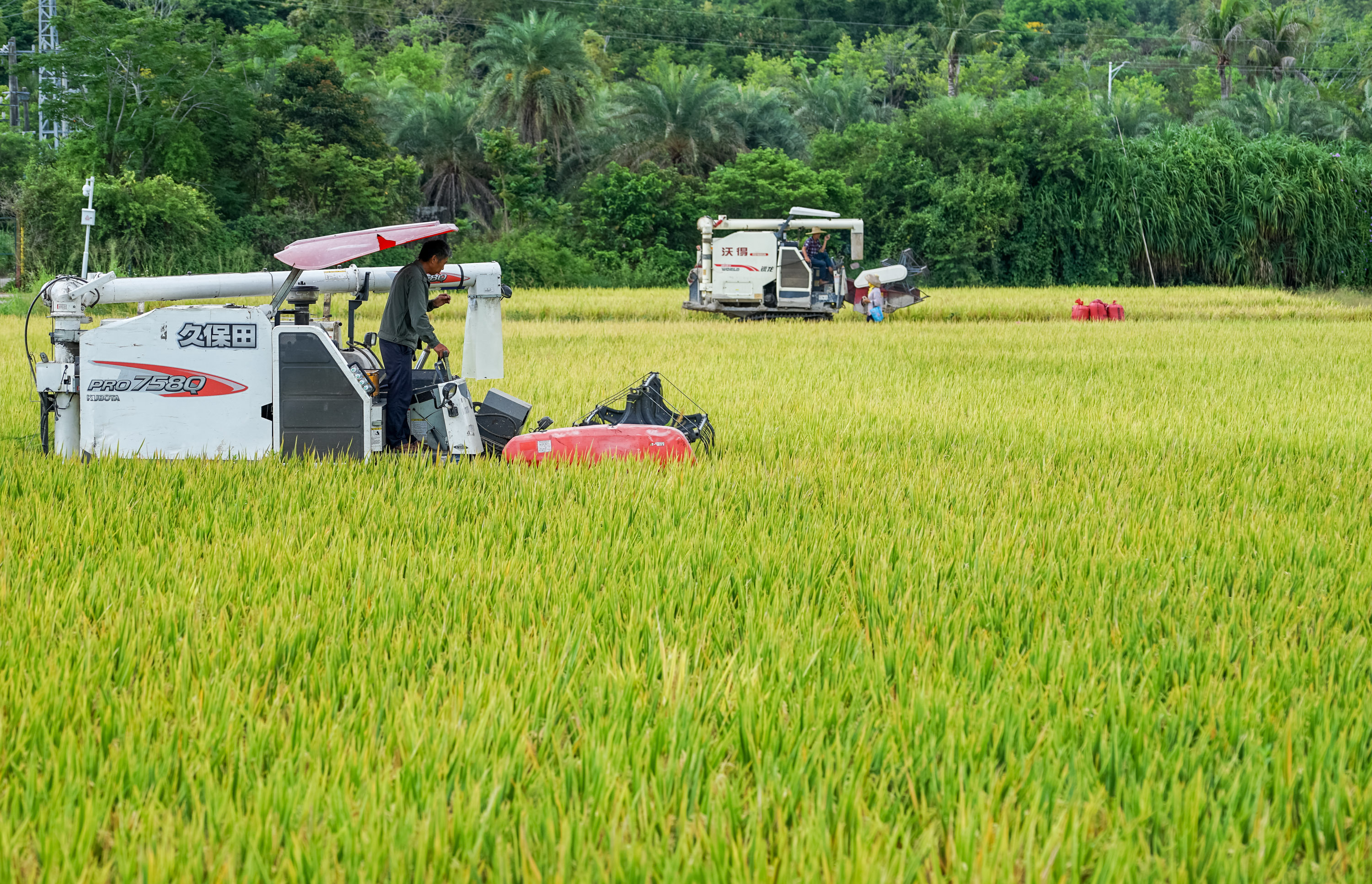 Record-high rice yields reported in Hainan