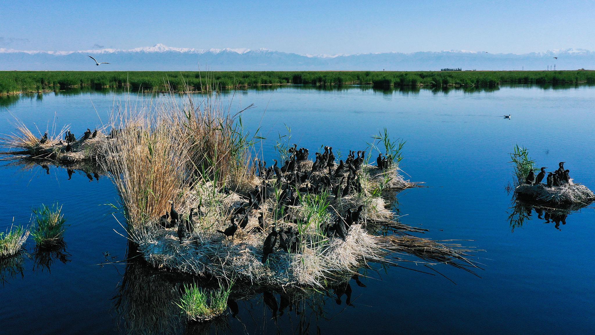 Waterfowl flock to Bosten Lake in NW China's Xinjiang