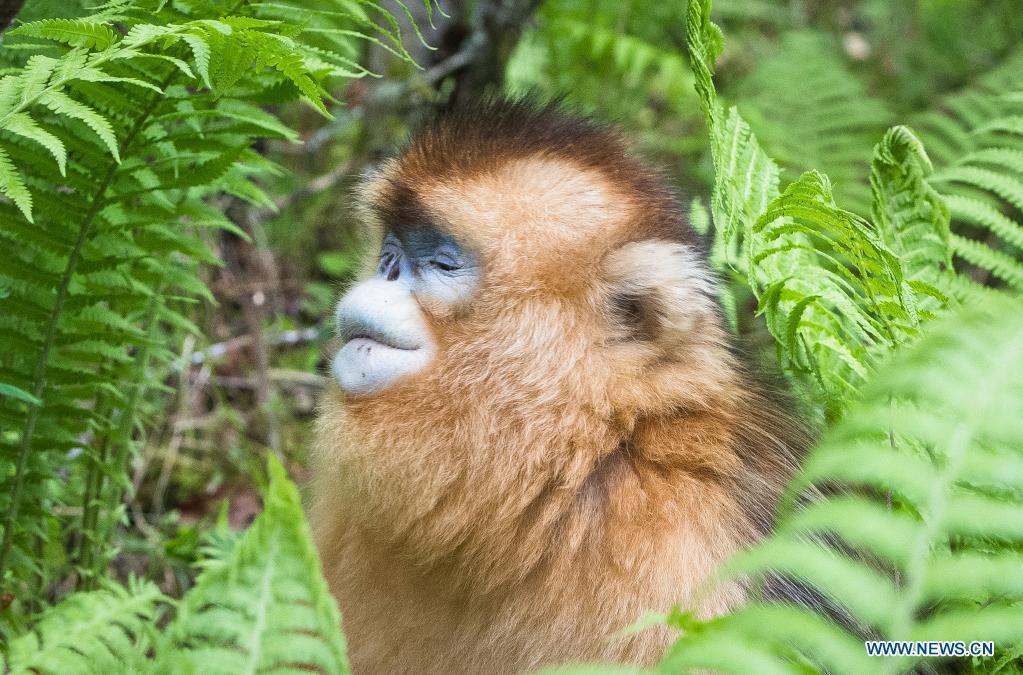 In pics: golden monkeys in Shennongjia National Park