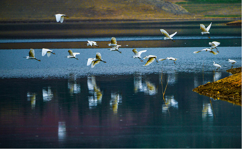 Little egrets' new paradise in South China's Guangxi