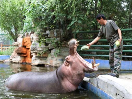 Zhengzhou Zoo provides zongzi for animals to welcome Dragon Boat Festival