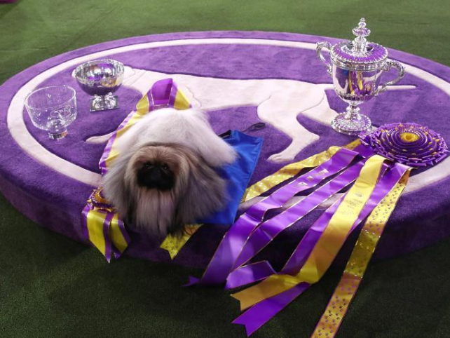 Pekingese dog wins title in 145th Westminster Kennel Club