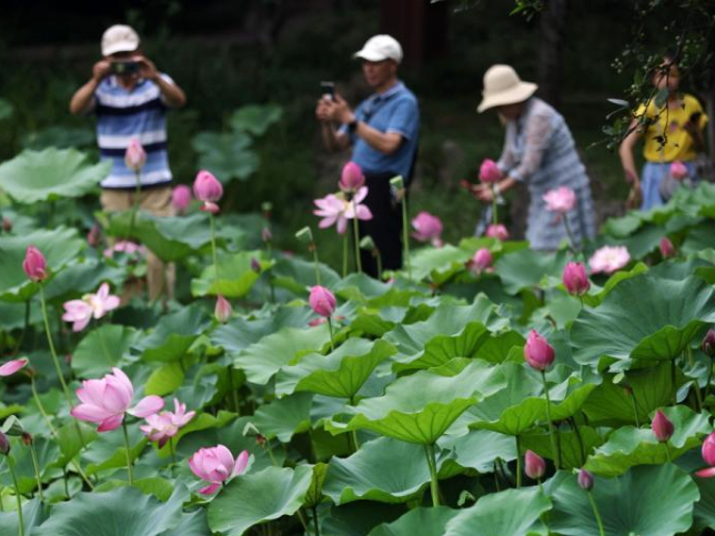 Lotus flowers bloom at Mochouhu Park in Nanjing in early summer