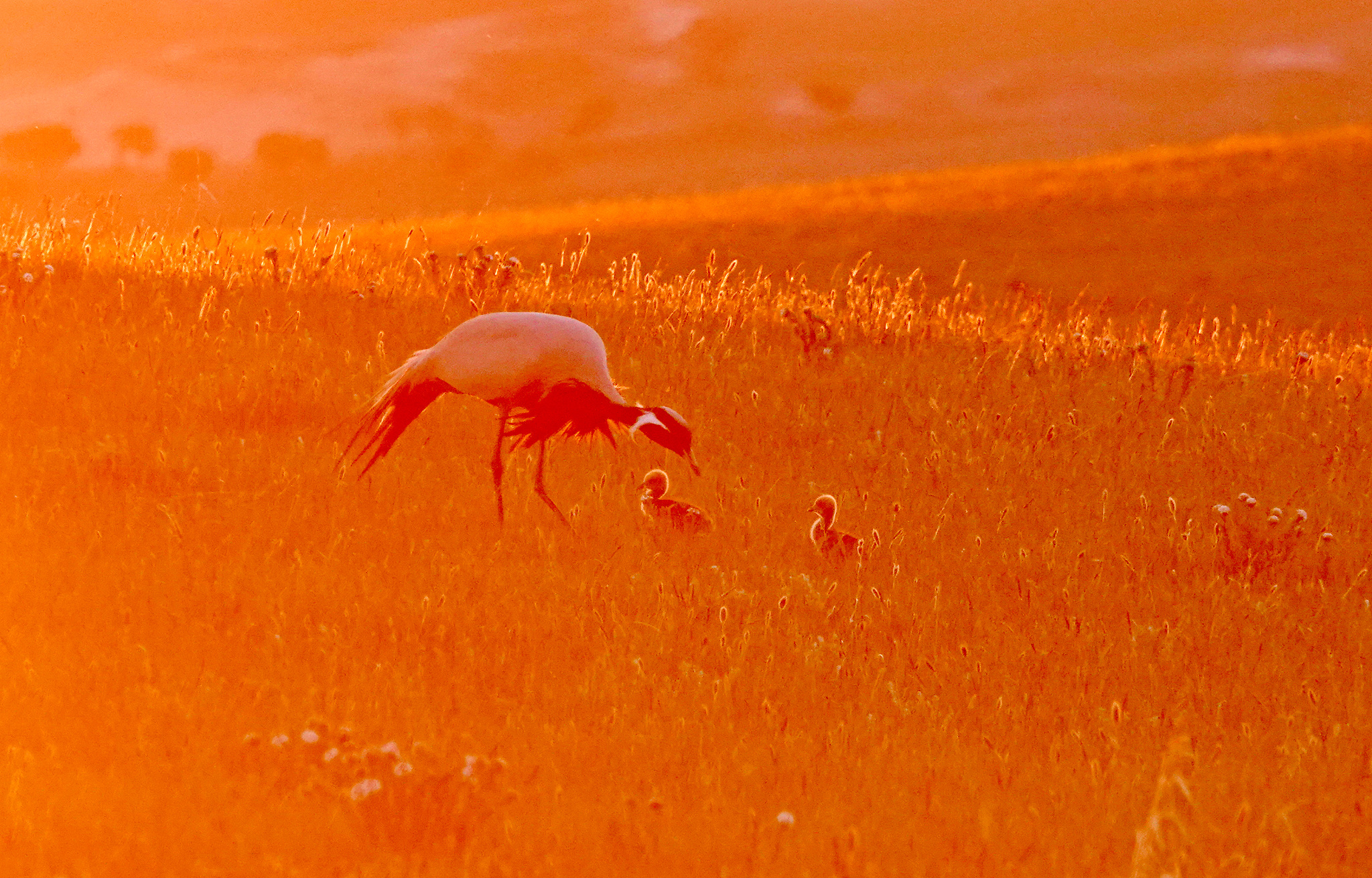 Newborn cranes join parents for a stroll in N China