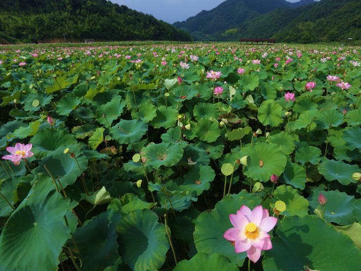 Lotus in E China's Fujian in full bloom