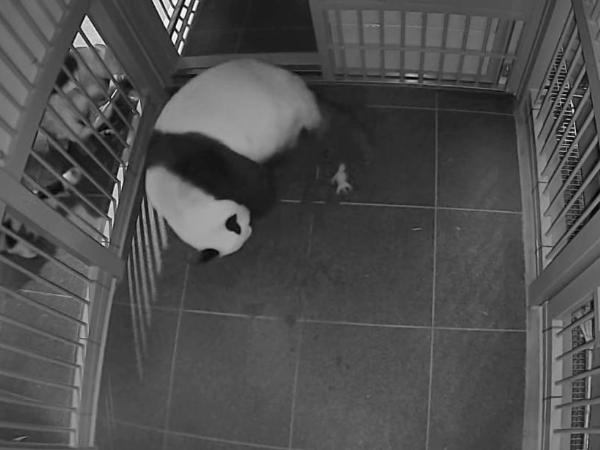Giant panda Shin Shin at Tokyo's Ueno Zoo delivers twins