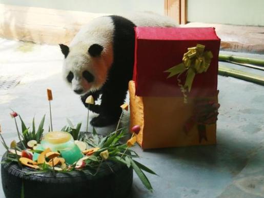 Giant pandas welcome 5th birthday