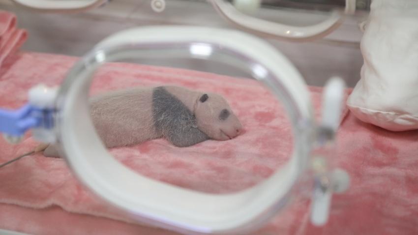 Giant panda cub Bao Lu grows black patches as he gets older