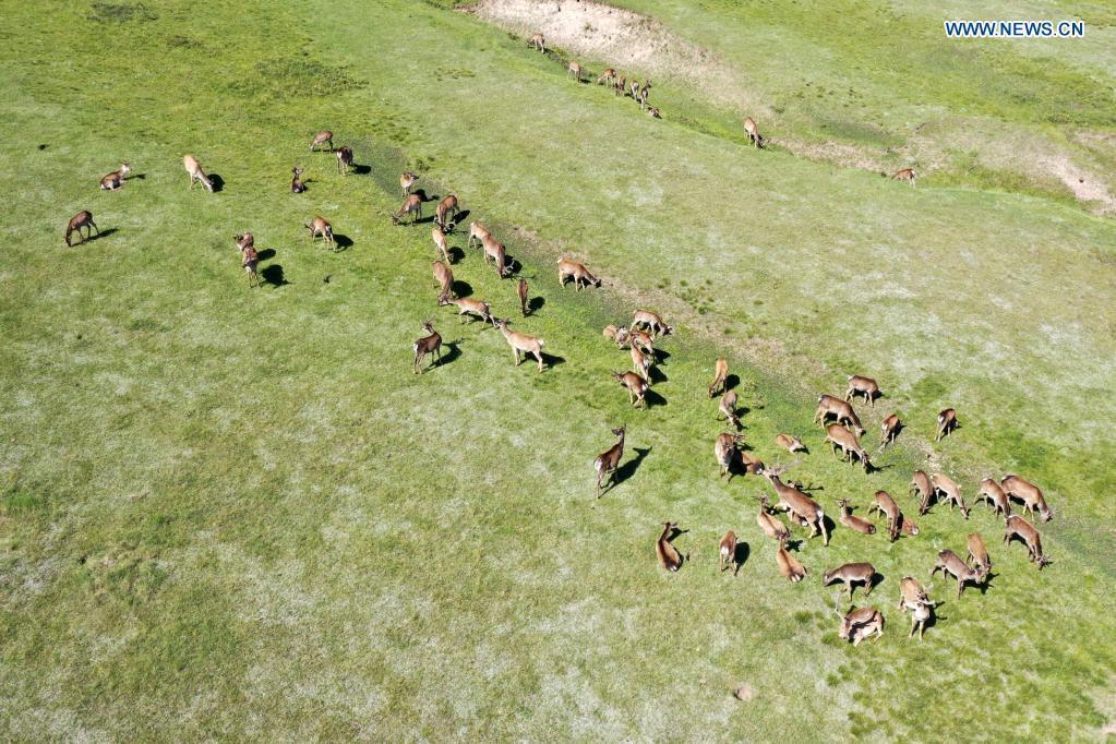 Red deers seen at cultivation field in Gansu