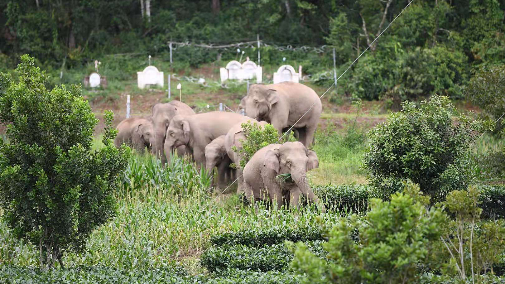 Heading home: Travel log of wandering elephants in SW China's Yunnan