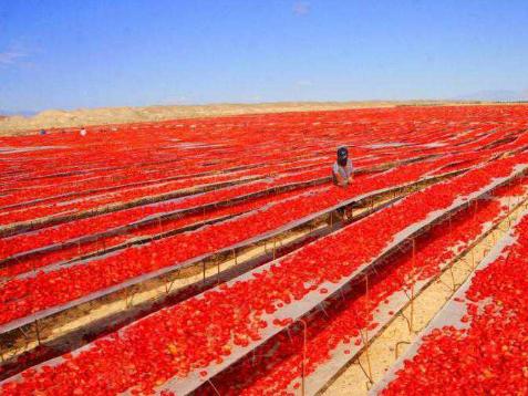 Tomato harvest season in NW China's Xinjiang